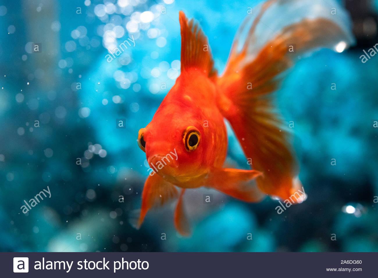 Beautiful Red Goldfish Swimming In A Fish Tank Or Home Aquarium Stock Photo Alamy