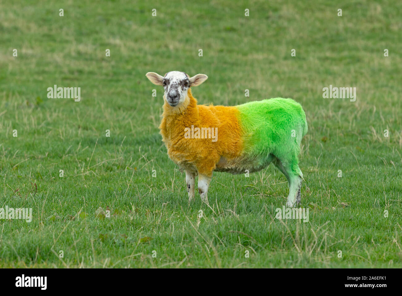 A sheep painted in the colors of Donegal on a meadow near Ardara, County Donegal, Republic of Ireland. Stock Photo