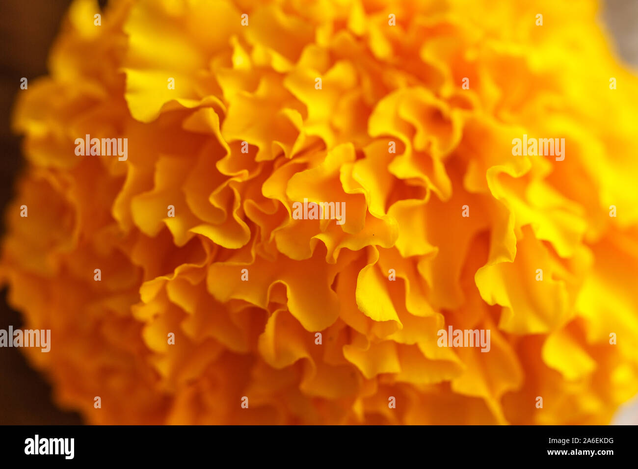 Floral wallpaper. Marigold flower close up, blurred. Bali Island, Indonesia Stock Photo