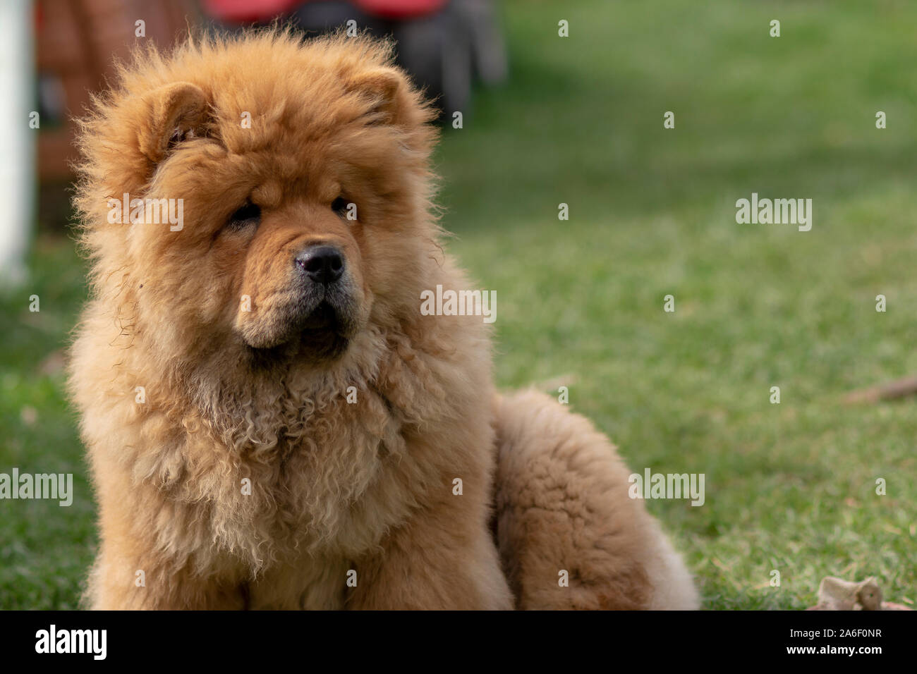 Chow Chow Puppy High Resolution Stock Photography And Images Alamy