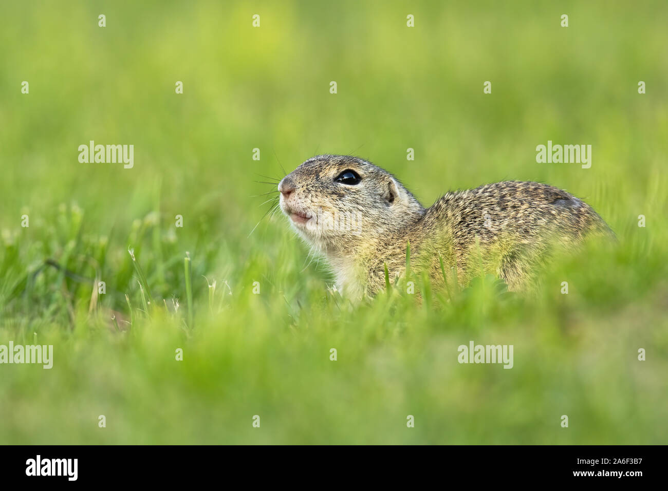Endangered european ground squirrel, spermophilus citellus, lying on green field hiding. Wild animal in nature early in the morning. Stock Photo