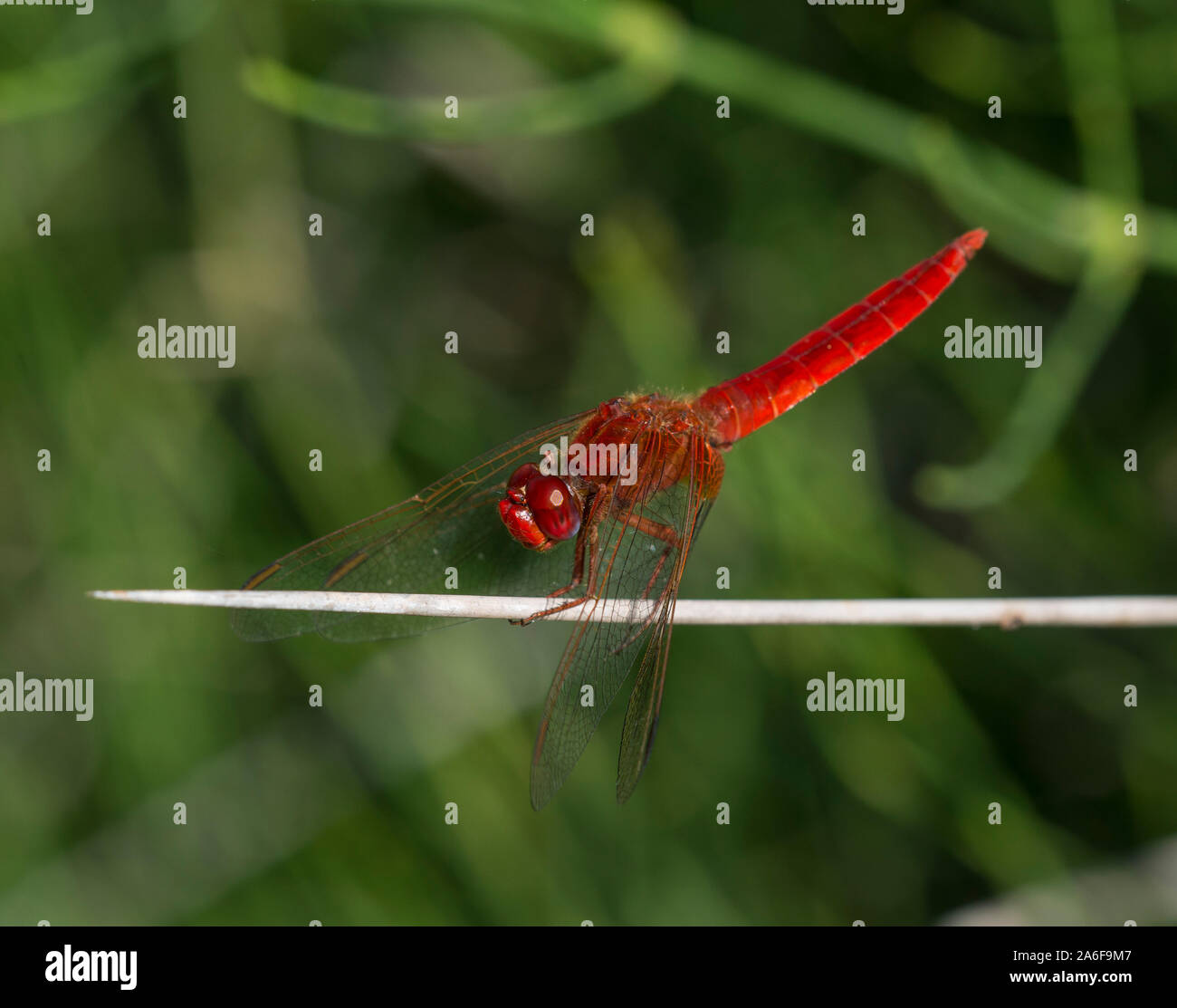 Male Scarlet Dragonfly (Crocothemis erythraea) on a rush stem, Milos, Cyclades Islands, Greece. Stock Photo