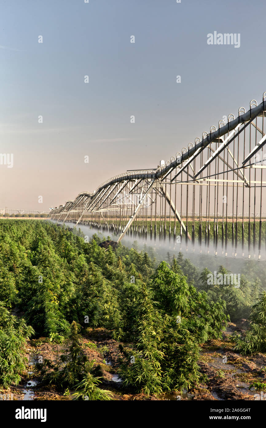 Industrial Hemp crop maturing, 'Frosted Lime' strain,  Linear Self Propelled Irrigation System operating  'Cannabis sativa', early morning light. Stock Photo