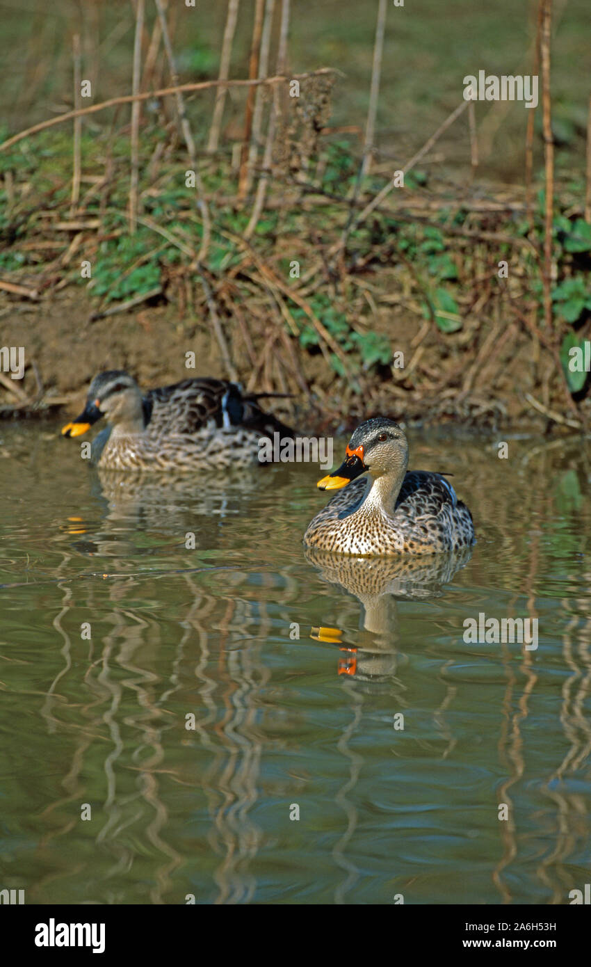 INDIAN SPOTBILL DUCK  pair on water swimming .(Anas platyrhynchos poecilorhyncha),  drake on the right Stock Photo