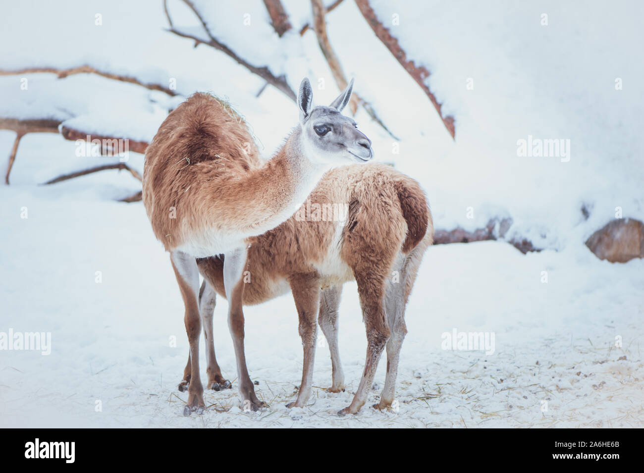 Two Guanacos, mother and baby on a natural winter background, portrait Stock Photo