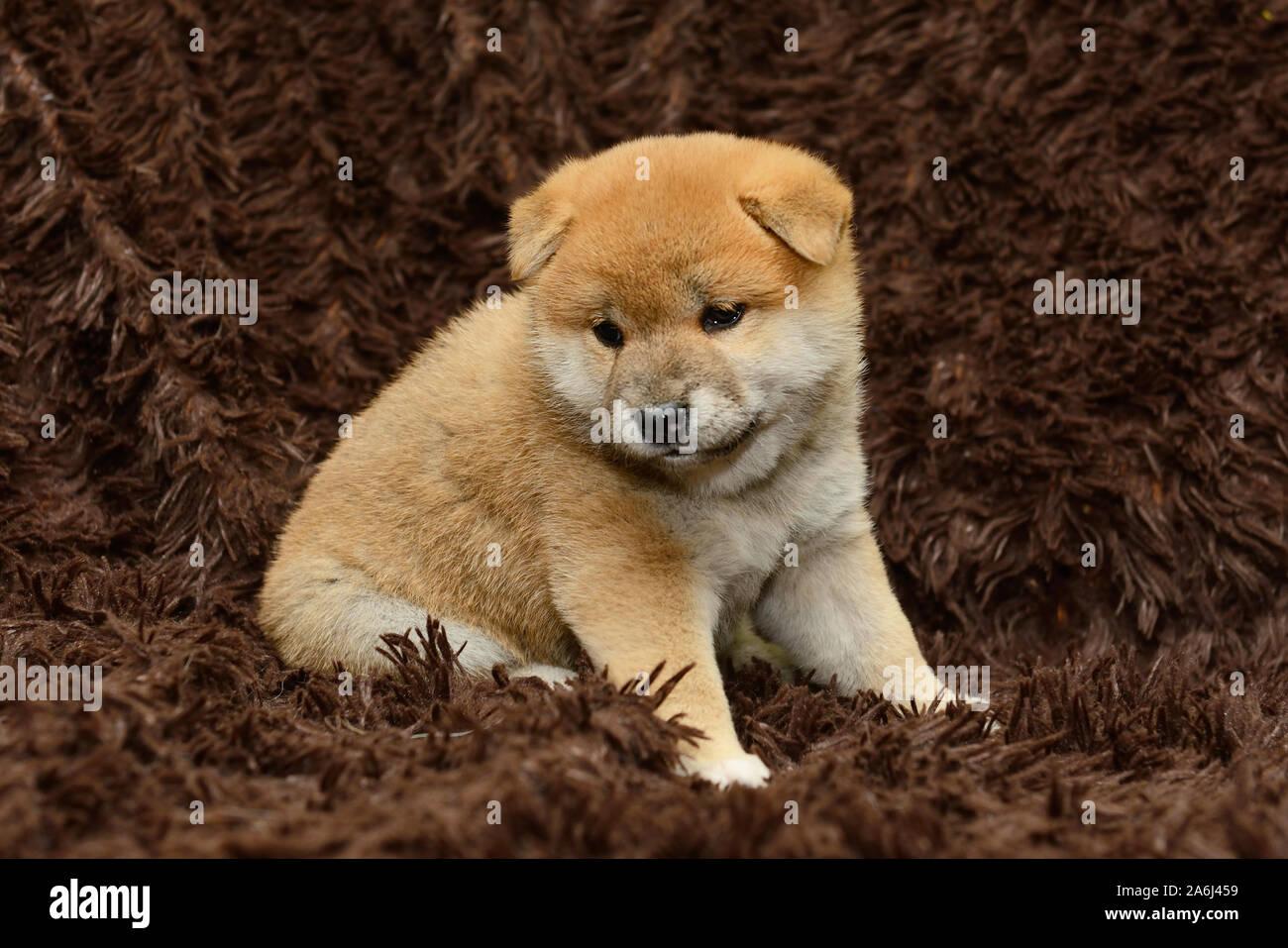 Shiba Inu Puppy On Brown Background Stock Photo Alamy