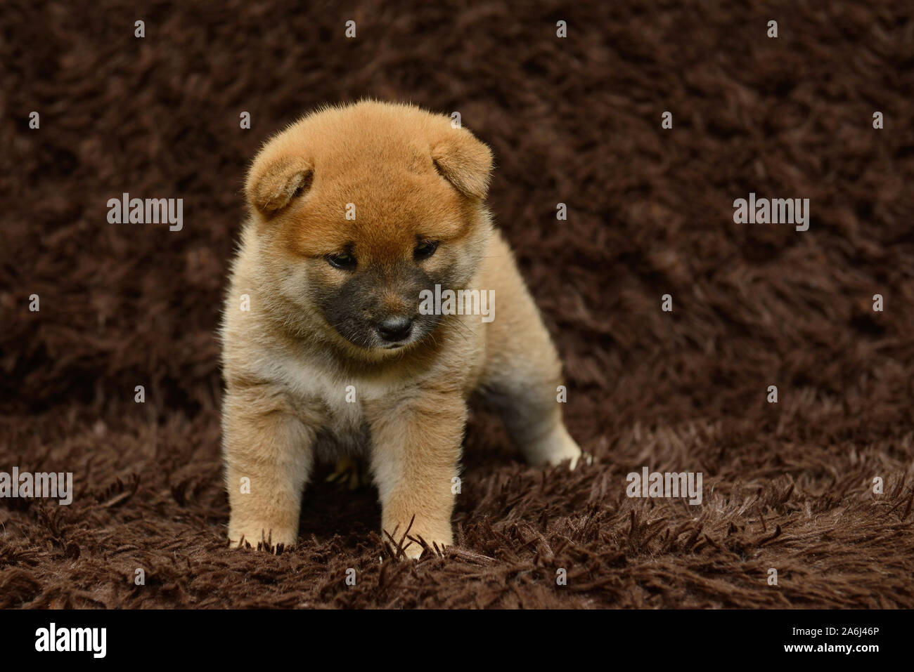 Shiba Inu Puppy On Brown Background Stock Photo Alamy