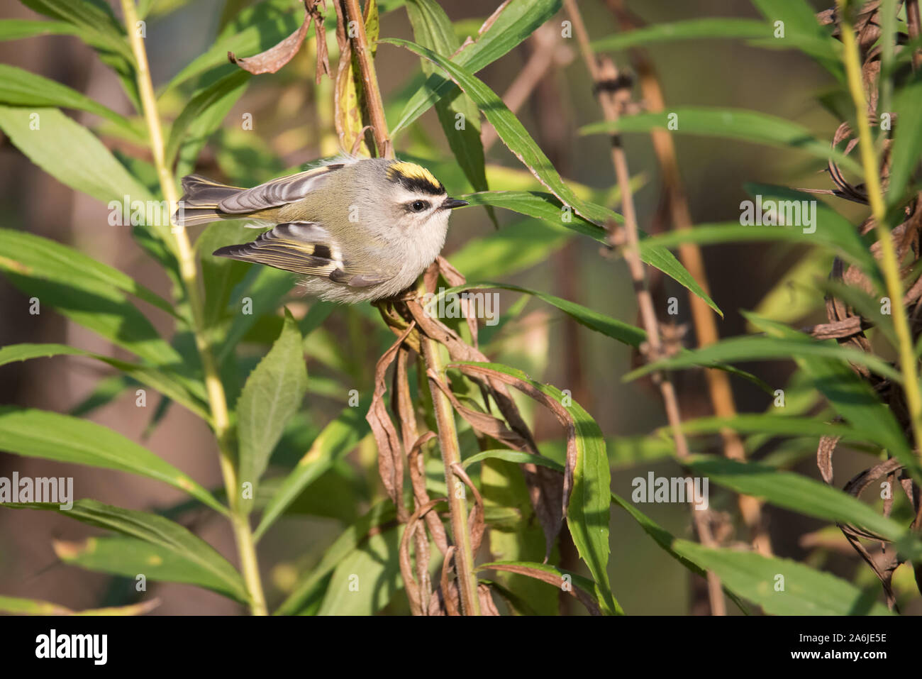 A Golden-crowned Kinglet forages for a meal among some goldenrod at Toronto, Ontario's popular Ashbridges Bay Park during fall migration. Stock Photo