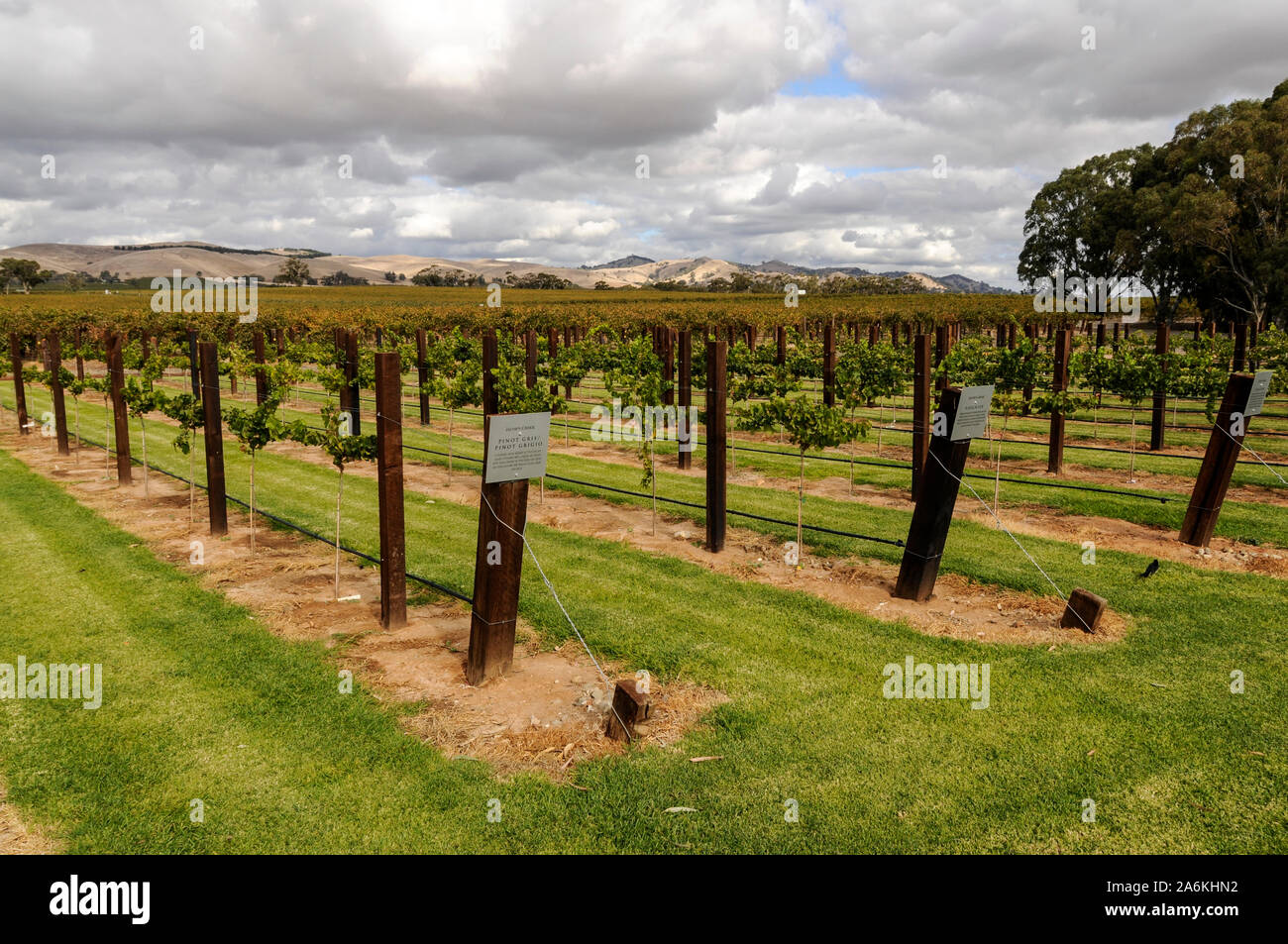 A selected area with cut grass for the benefit  of visitors is Jacobs Creek in the  Barossa Valley  wine growing region near Adelaide, Australia. Stock Photo