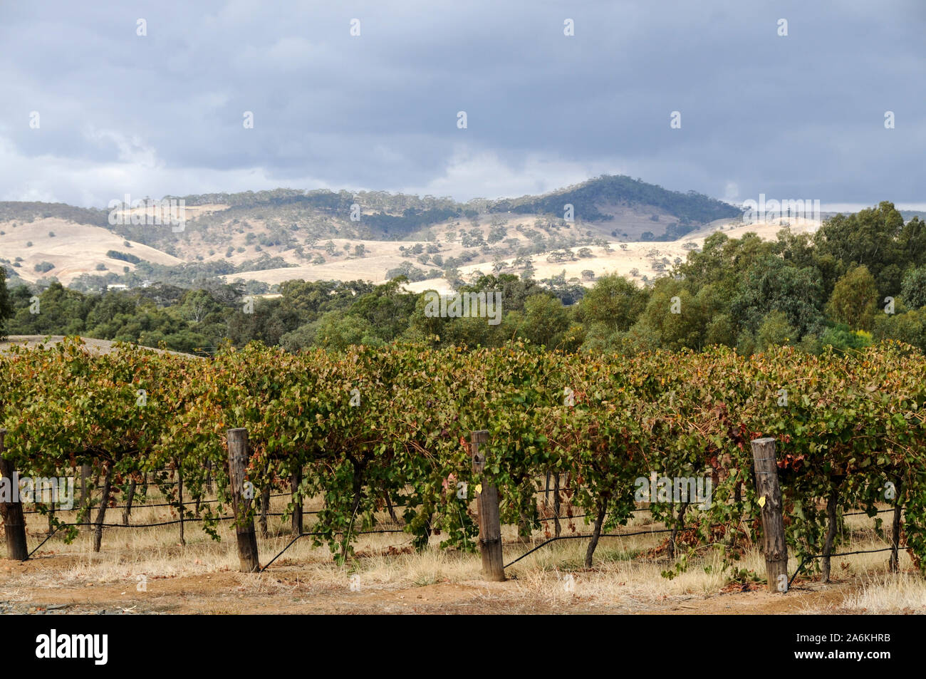 Jacobs Creek vines in the  Barossa Valley  wine growing region in south Australia.  There are about 150 wineries in the Barossa Valley wine region, an Stock Photo