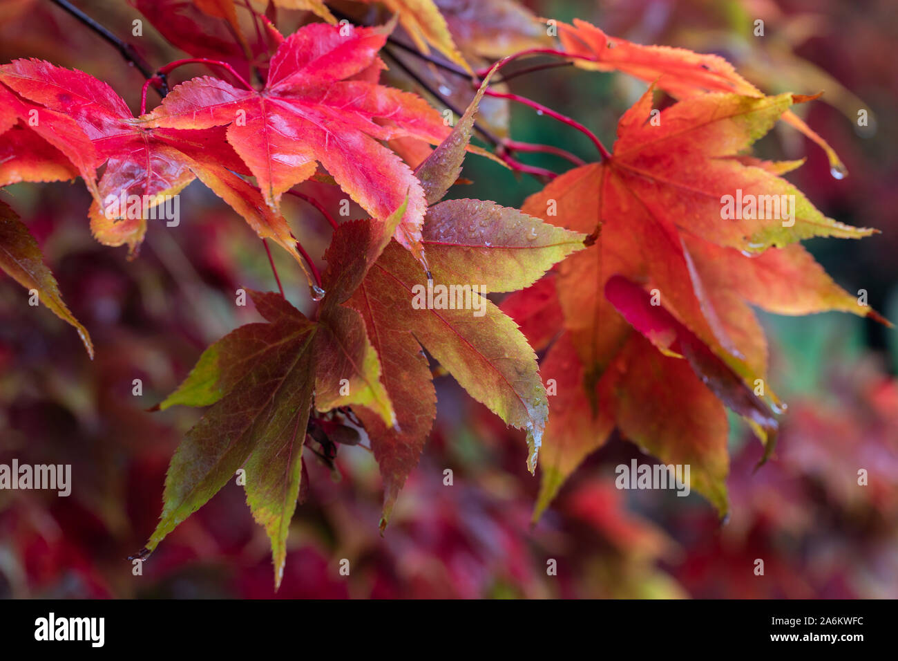 Close up of wet red Acer Palmatum leaves after a shower of rain in autumn at Westonbirt Arboretum, Gloucestershire, England, UK Stock Photo