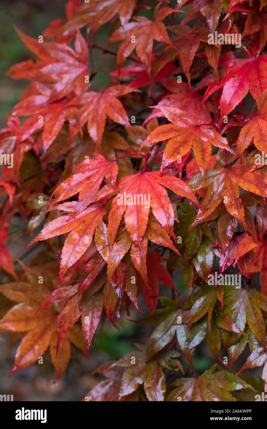 Close up of wet red Acer Palmatum leaves after a shower of rain in Westonbirt Arboretum, Gloucestershire, England, UK Stock Photo