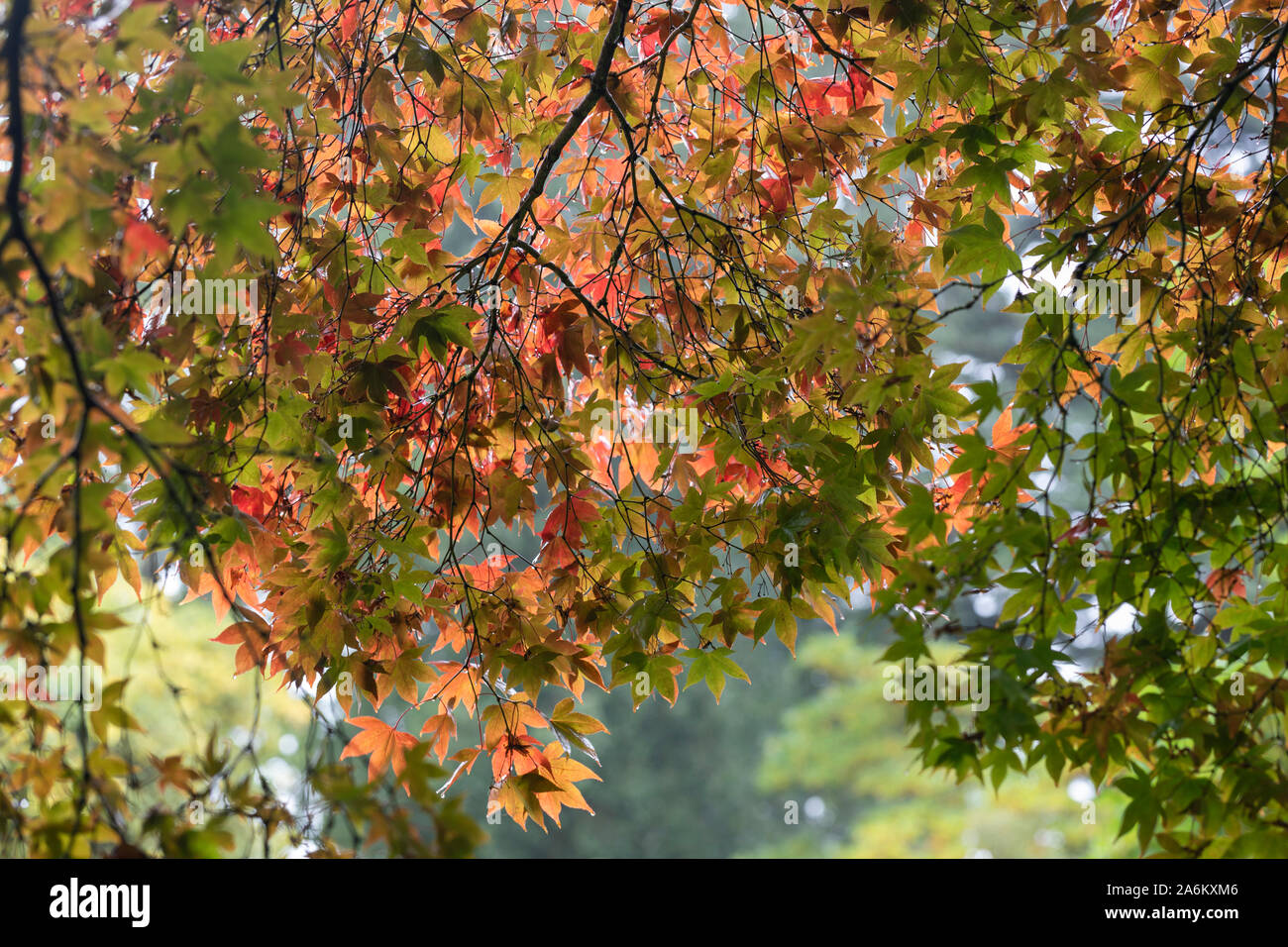 Sunlit autumn leaves of the Japanese Maple Acer Palmatum at Westonbirt Arboretum, Gloucestershire, England, UK Stock Photo