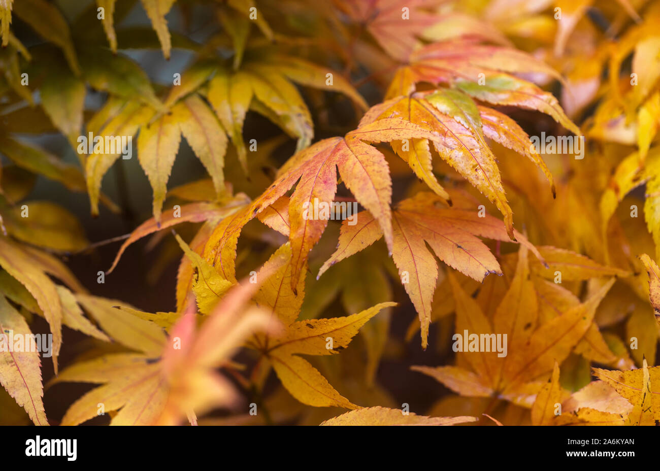 Close up of the autumn golden leaves of an Acer at Westonbirt Arboretum, Gloucestershire, England, UK Stock Photo