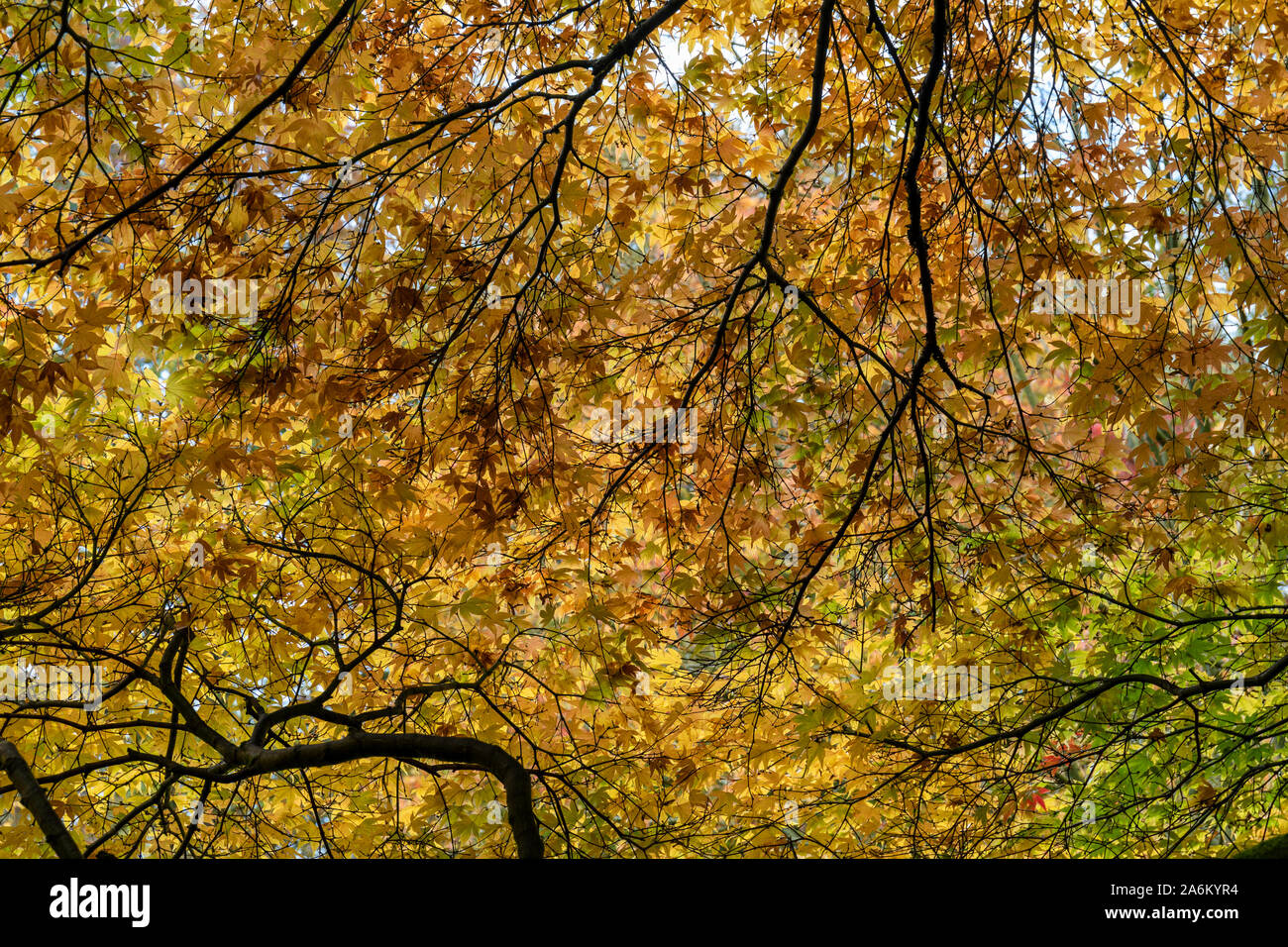 The Sunlit golden leaves of the Japanese Maple Acer amoenum in autumn at Westonbirt, Gloucestershire, England, UK Stock Photo