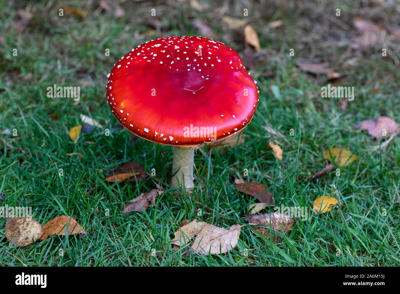Close up of a single red Fly agaric mushroom - Amanita muscaria. A toxic toadstool growing in the grasss at Westonbirt, UK Stock Photo