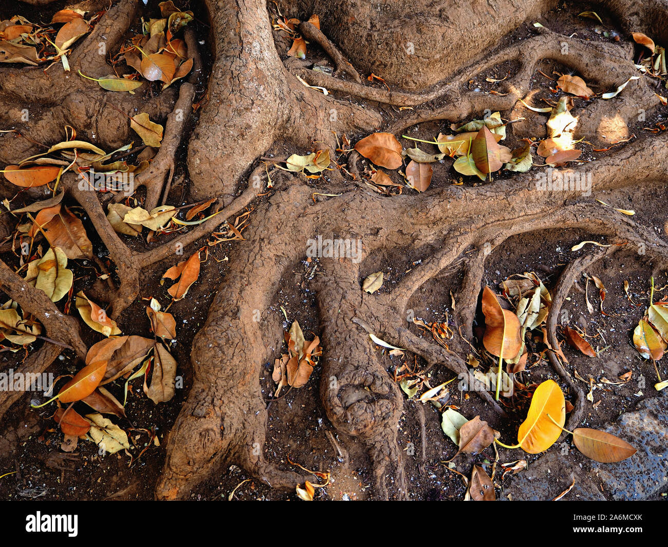 the thick roots of a canarian rubber tree photographed from above with yellow dried leaves lying around them. Detailed picture in earth tones. Stock Photo