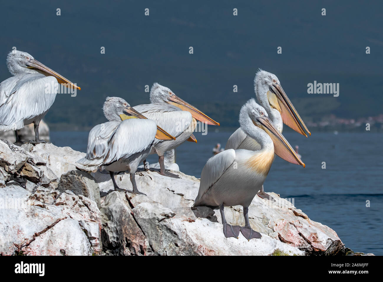 Dalmatian pelican - Pelecanus crispus. The most massive member of the pelican family, and perhaps the world's largest freshwater bird. Stock Photo