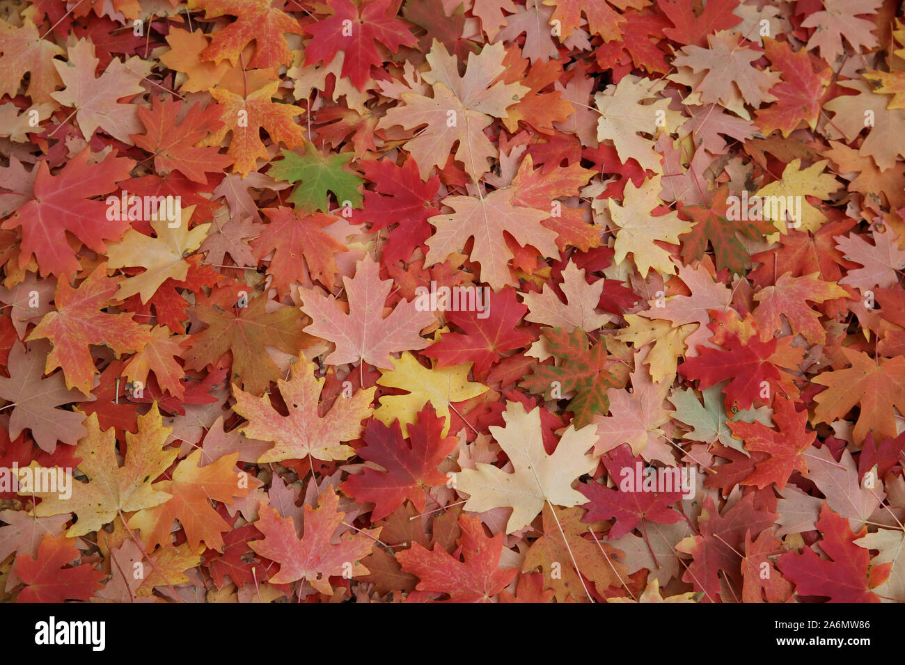 Maple leaves covering the ground under the tree Stock Photo