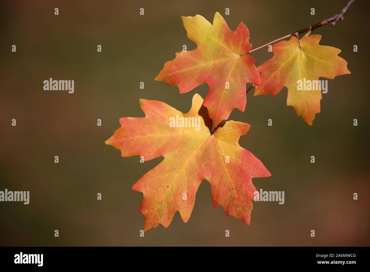 Maple leaves turning in the fall season, Utah Stock Photo
