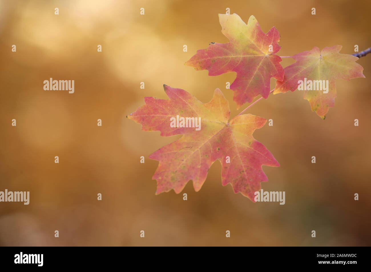 Maple leaves turning in the fall season, Utah Stock Photo