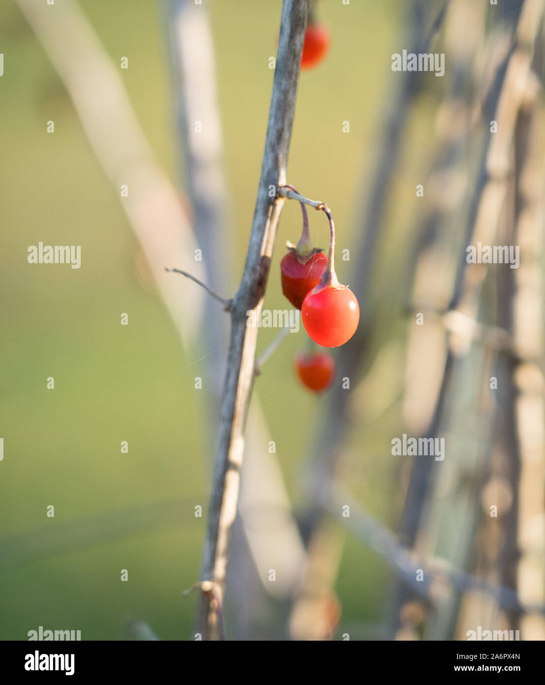 Goji Berry Garden High Resolution Stock Photography And Images Alamy