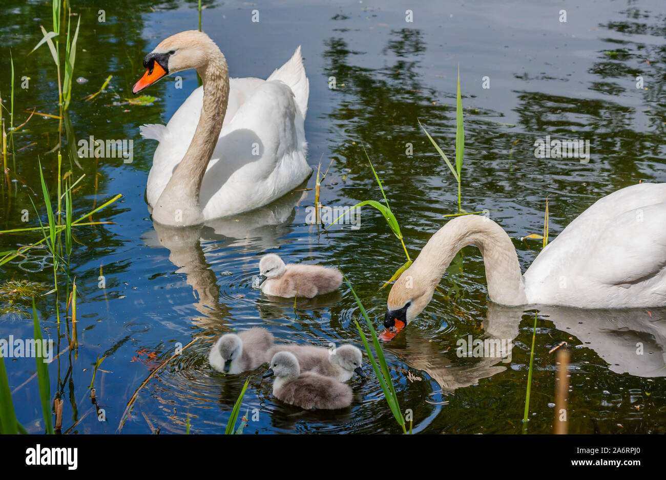 Mute swan family of cygnets chicks watched over by parents, swimming in water at Grand Canal, Dublin, Ireland. Four young fluffy baby swans Stock Photo