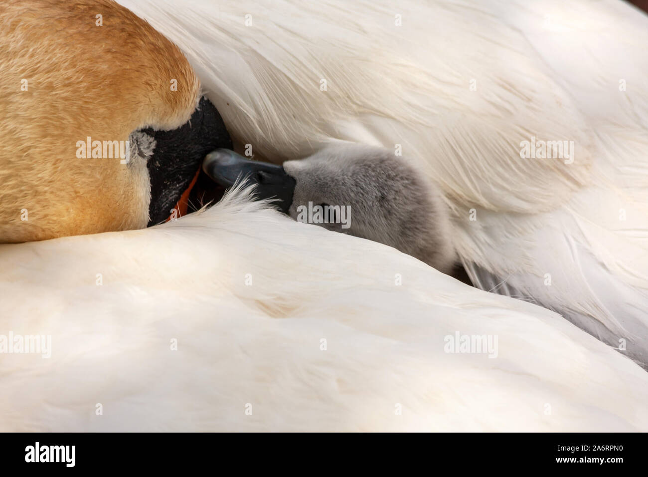 Young swan cygnet chick wrapped up and hidden under mother's white feathers wing. Grand Canal, Dublin, Ireland. Mute swans, Cygnus olor, pen with baby Stock Photo