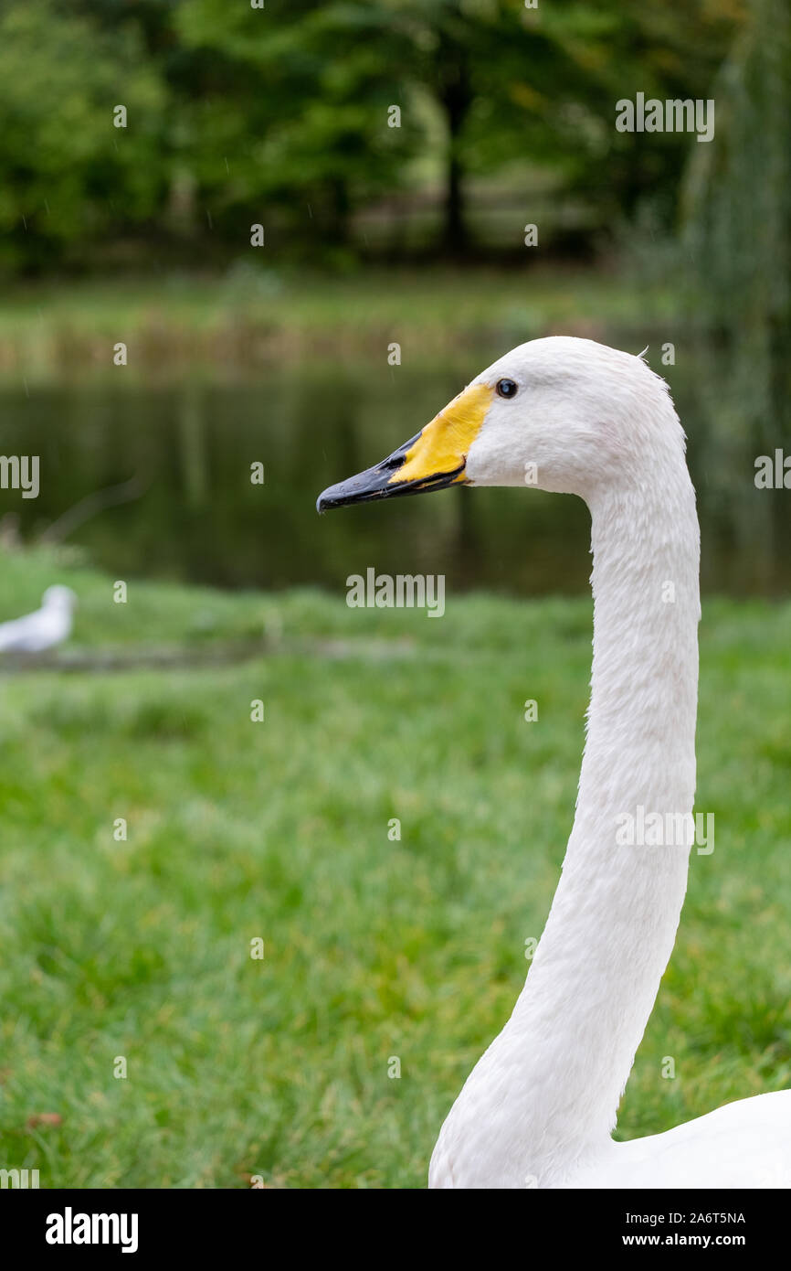 Head and neck of whooper swan, with black and yellow beak and white plumage Stock Photo
