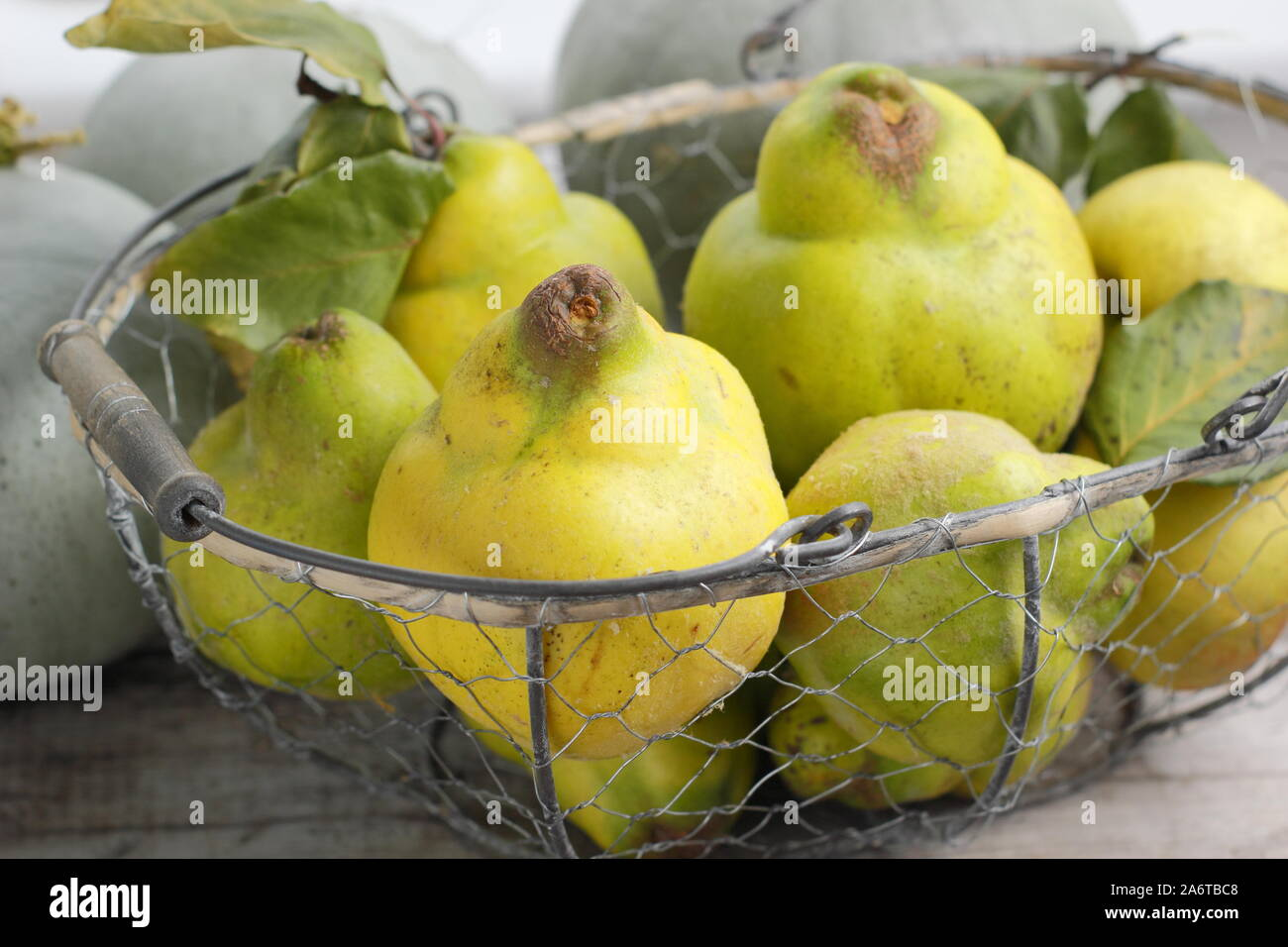 Cydonia oblonga 'Vranja'. Quince fruits in a wire basket for making jelly. UK Stock Photo