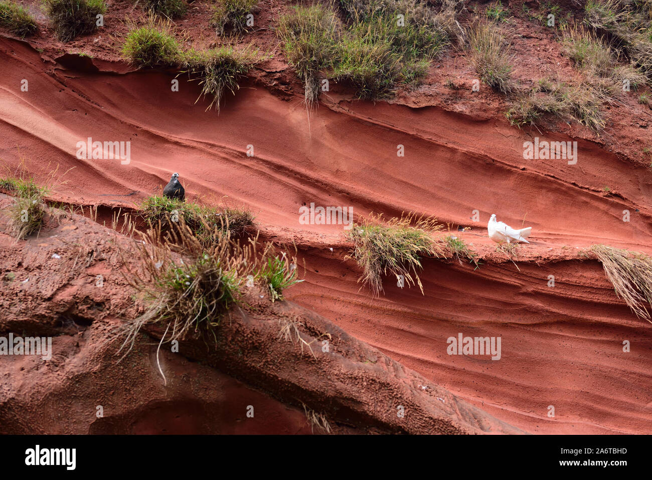 Pigeons on a red sandstone cliff-face at Dawlish. Stock Photo