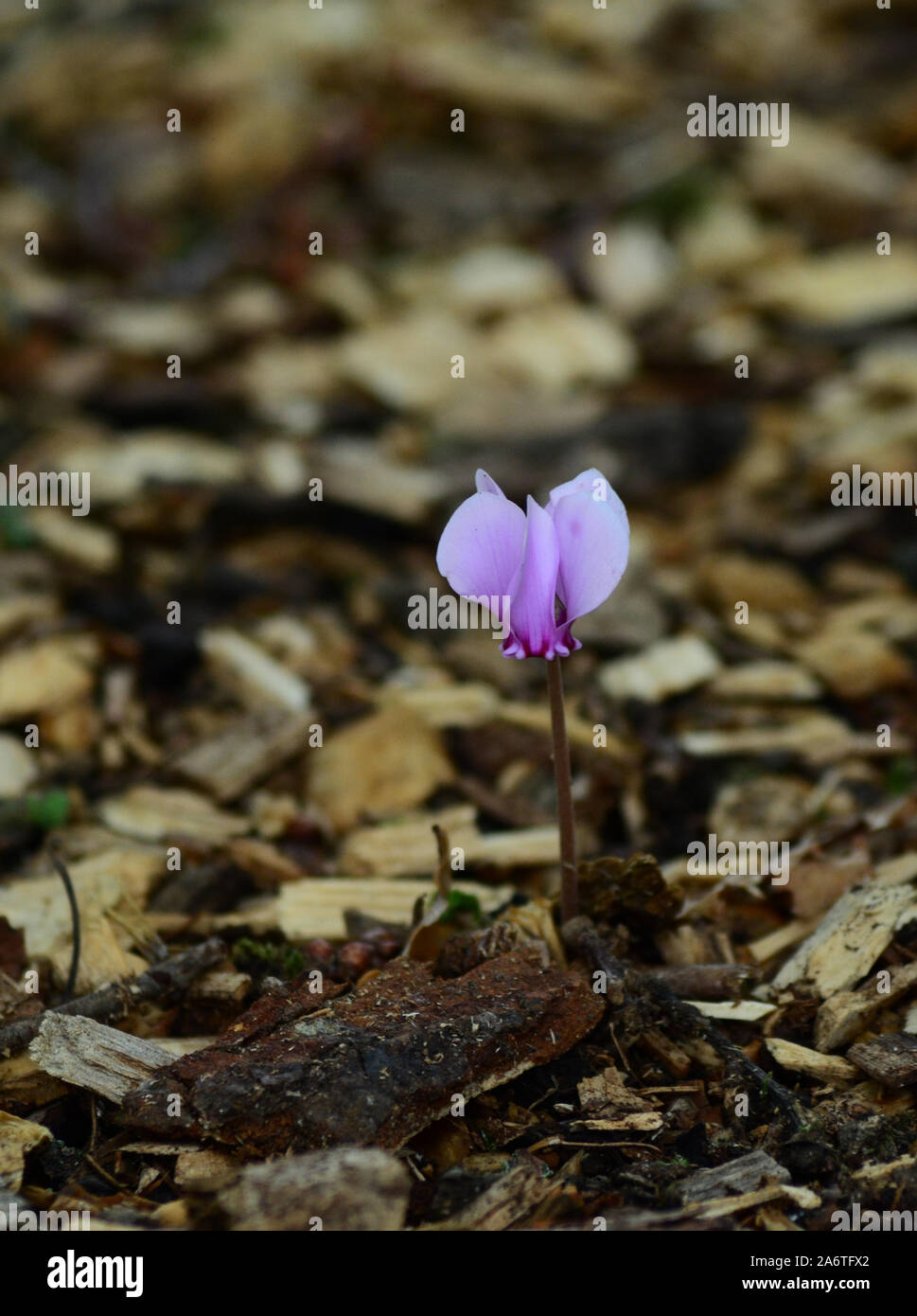 Pretty pink Cyclamen flower in amongst background of wood chippings Stock Photo