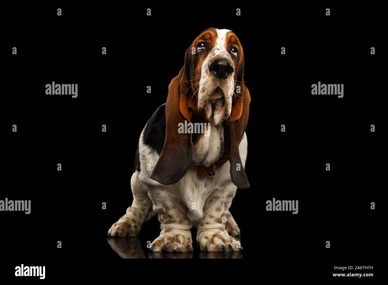 Funny Basset Hound Dog Standing And Looks Indifferent On Isolated Black Background Stare Up Stock Photo Alamy