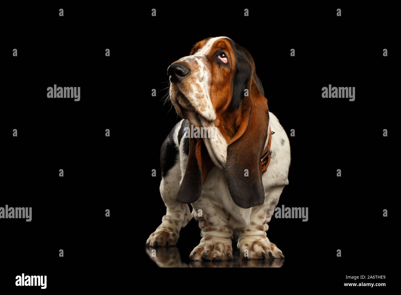Funny Basset Hound Dog Standing And Looks Indifferent On Isolated Black Background Side View Stock Photo Alamy