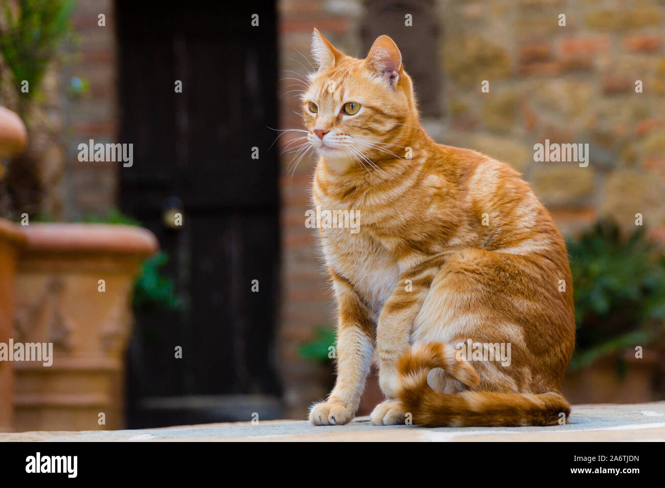 Edle braune Hauskatze Stock Photo