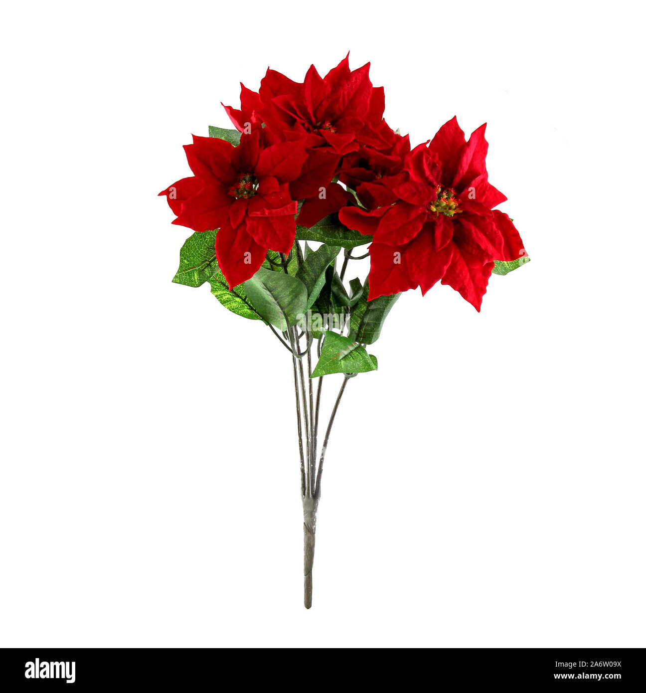 Xmas Poinsettia Isolated On White Background This Flower Is Known As Christmas Star Stock Photo Alamy