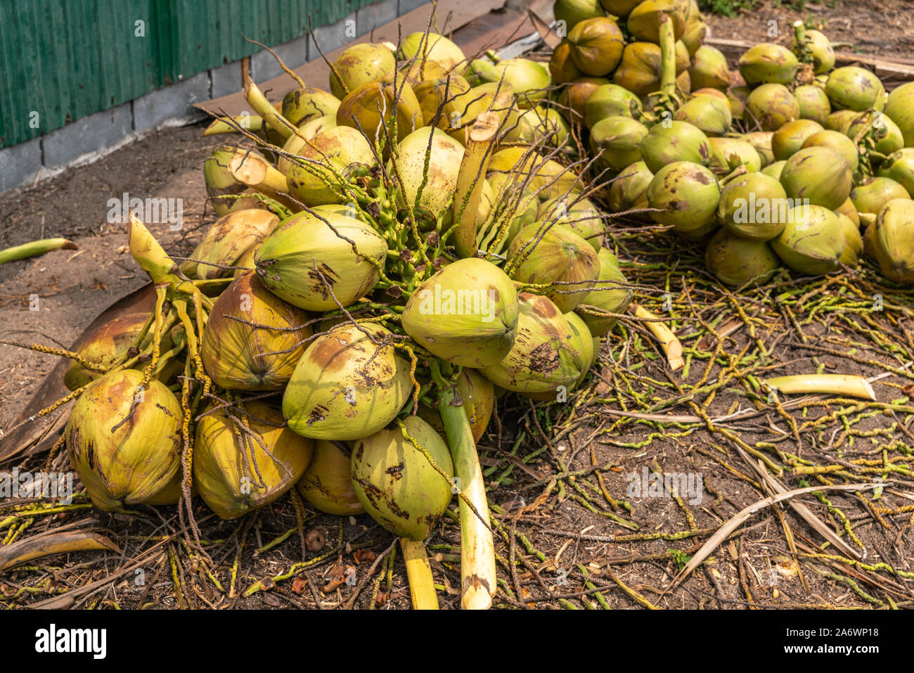 Ko Samui Island, Thailand - March 18, 2019: Harvesting coconuts. Green yellowish clusters of freshly harvested coconut clusters lying on brown dirt. Stock Photo