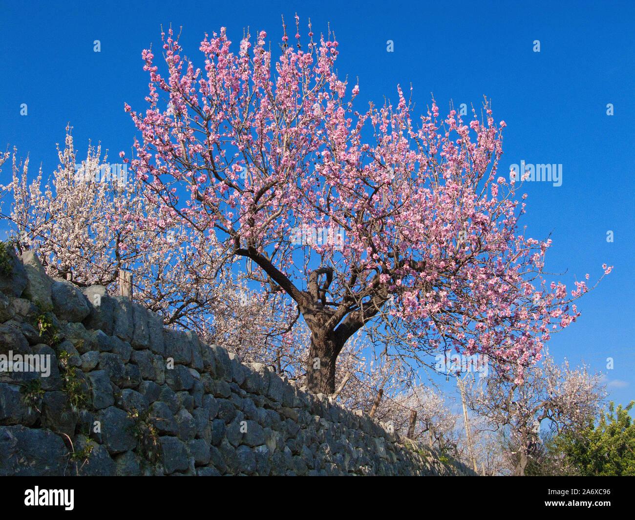 Prosperous Almond trees (Prunus dulcis) at Selva, almond blossom, Serra de Tramuntana, Mallorca, Balearics, Baleraric island, Spain Stock Photo