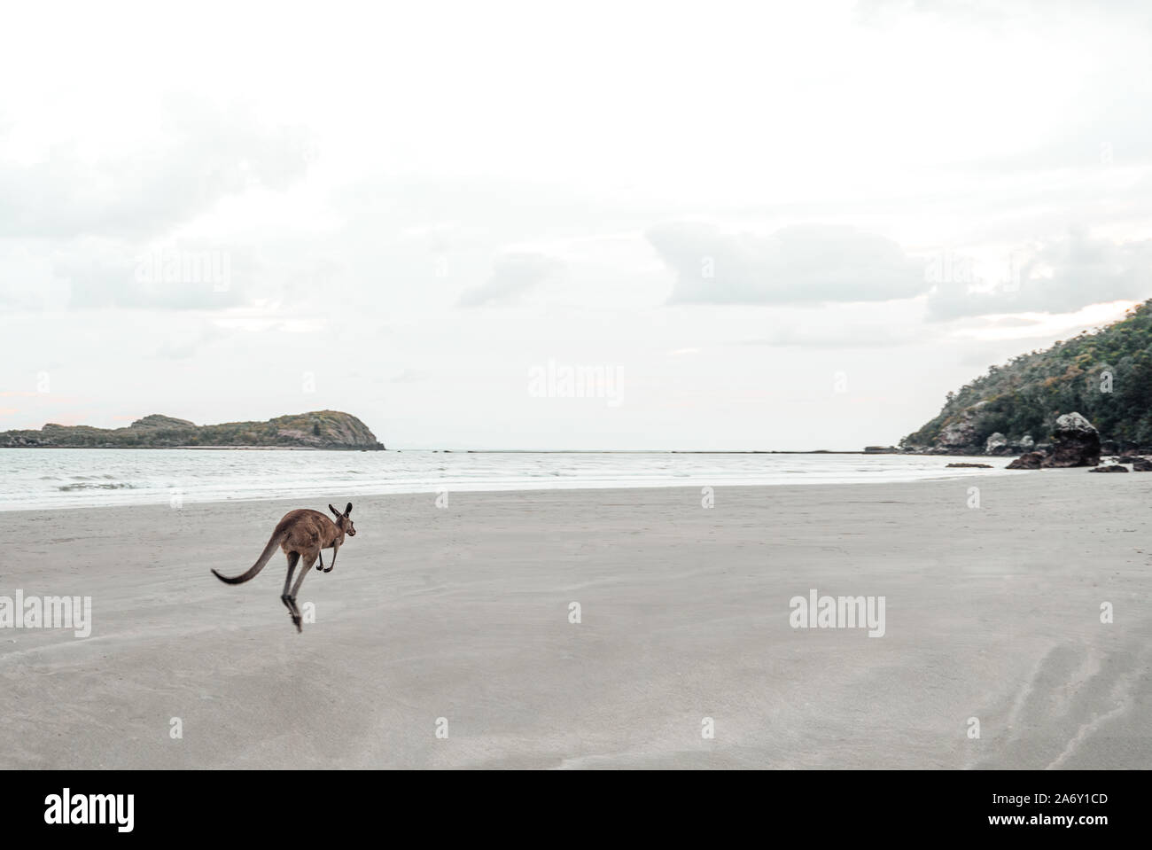 Kangaroo jumps away at the Ocean on the Beach Stock Photo