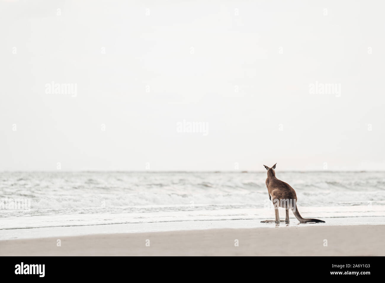 Kangaroo watches the Ocean at the Beach Stock Photo