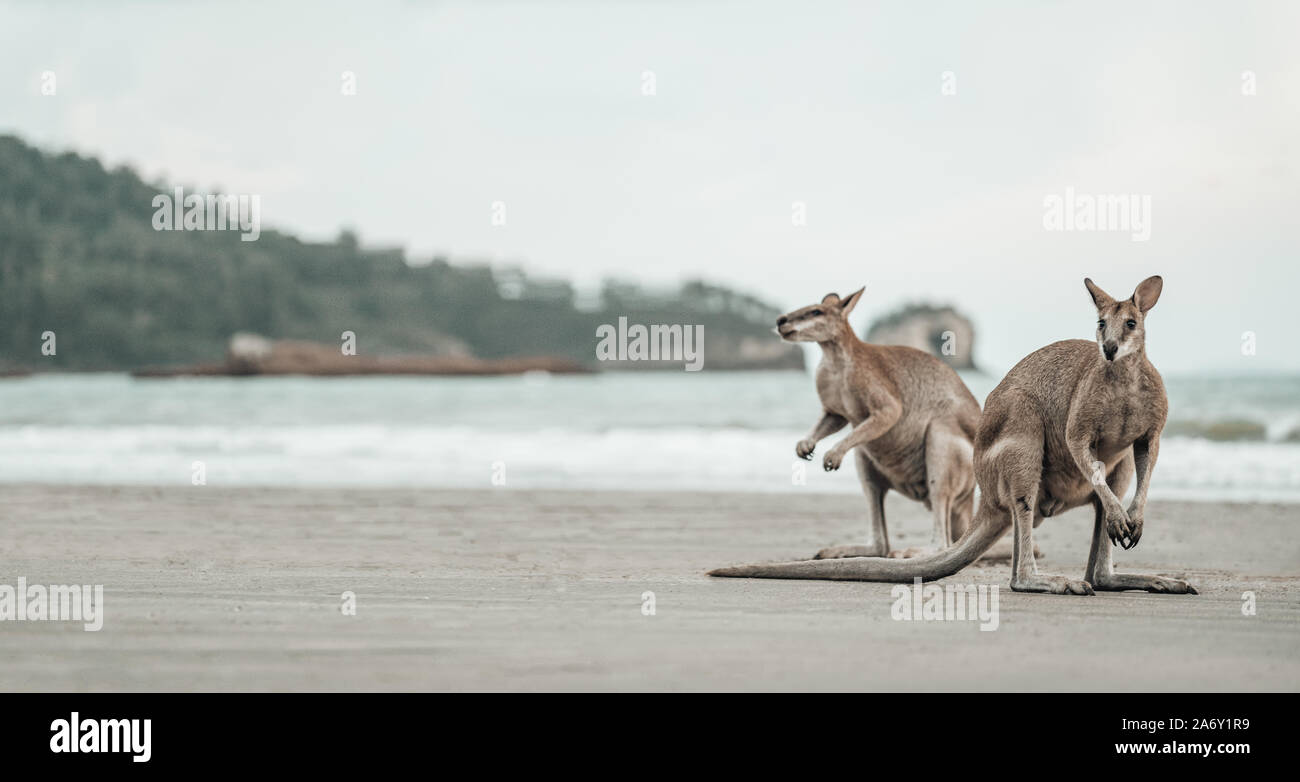 Kangaroos watches the Ocean at the Beach Stock Photo