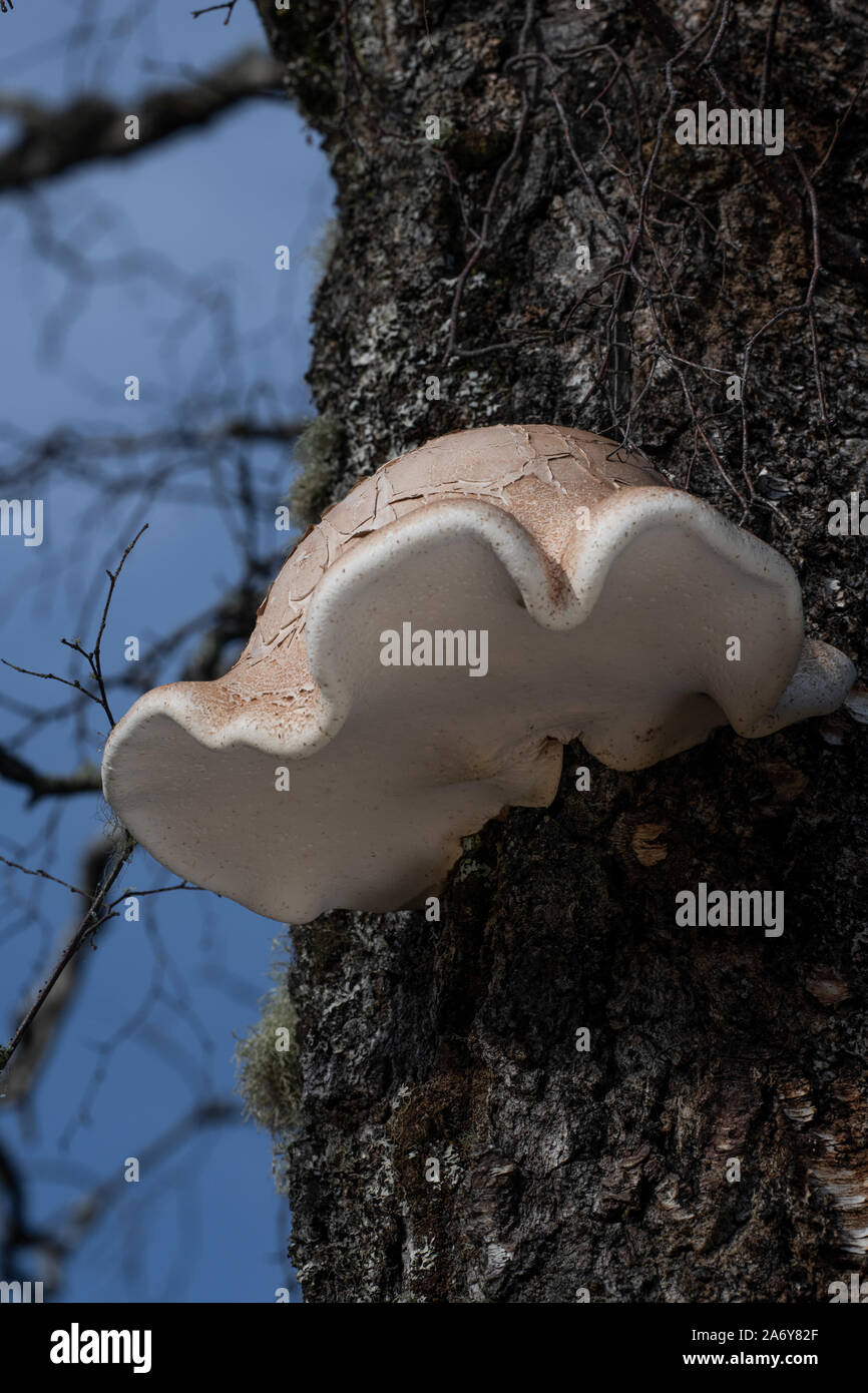 Birch Polypore fungi (Fomitopsis betulina, Piptoporus betulinus) Stock Photo