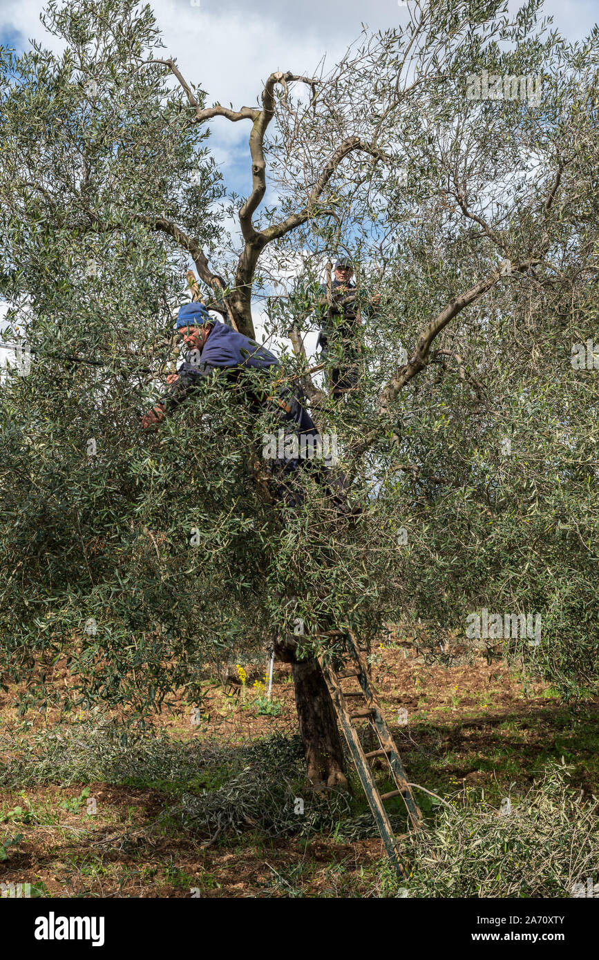 Pruning of olive trees near Bari in Puglia, Italy. // Beschneidung von Olivenbäumen nahe Bari in Puglia, Italien. Stock Photo