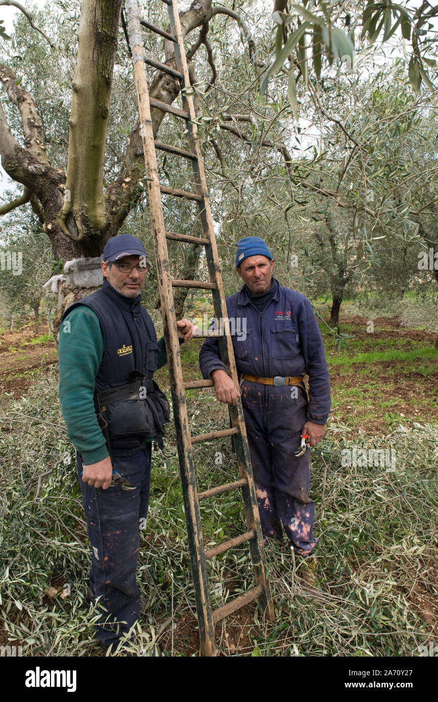 Pruning of olive trees near Bari in Puglia, Italy. // Beschneidung von Olivenbäumen nahe Bari in Puglia, Italien. Stock Photo