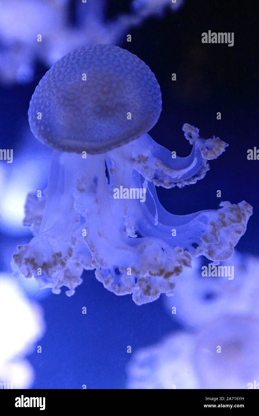 Phyllorhiza punctata is a species of jellyfish, also known as the floating bell, Australian spotted jellyfish, brown jellyfish or the white-spotted jellyfish. It is native to the western Pacific from Australia to Japan, but has been introduced widely elsewhere. It feeds primarily on zooplankton. Stock Photo