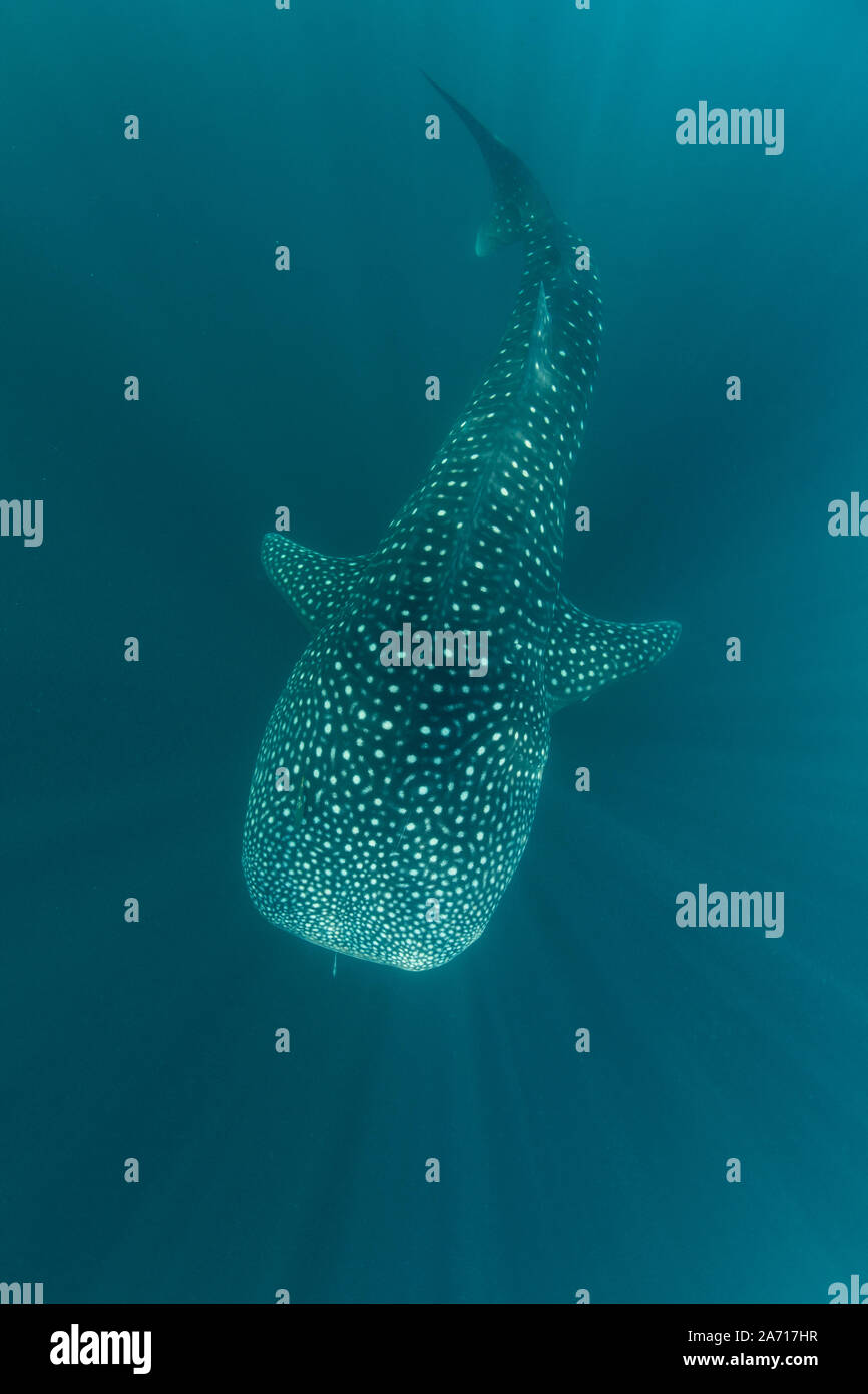 A whale shark, Rhincodon typus, slowly swims through beams of sunlight in Indonesia. This is the largest known extant fish species on Earth. Stock Photo