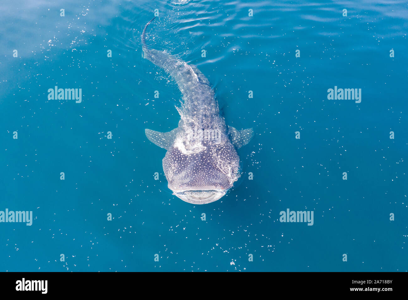 A whale shark, Rhincodon typus, slowly swims near the surface feeding on krill in Indonesia. This is the largest known extant fish species on Earth. Stock Photo