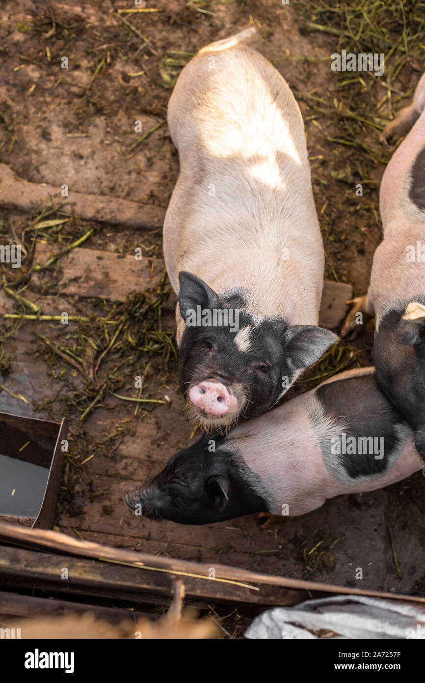 Pigs family in pigsty, dirty and happy. Farm life. Stock Photo