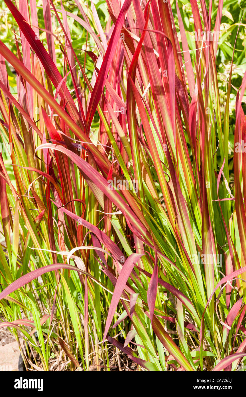 Red Grasses Imperata Cylindrica Rubra Red Baron A Perennial Grass