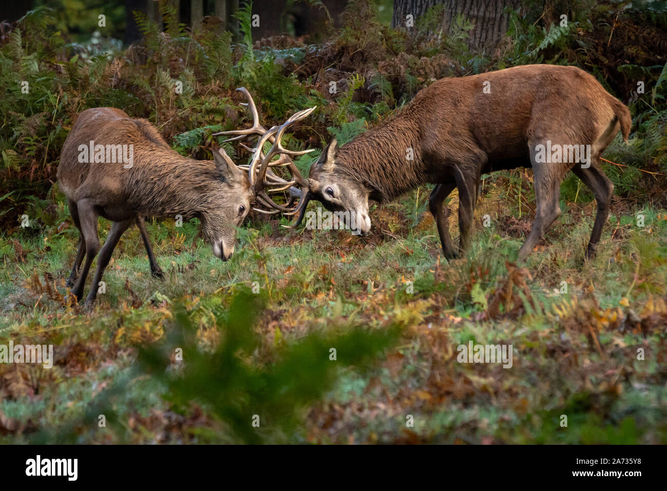 London, UK. 27th Oct 2019. Red deer stag battle for mating rights as rutting season begins in Richmond Park, where over 600 deer roam freely. During t Stock Photo